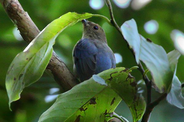 オオルリ幼鳥-29