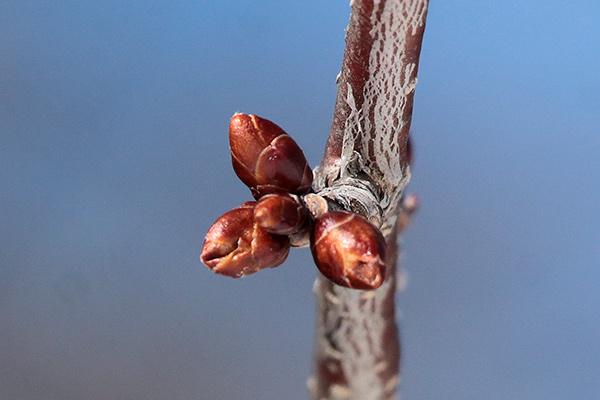 エゾヤマザクラ冬芽-1