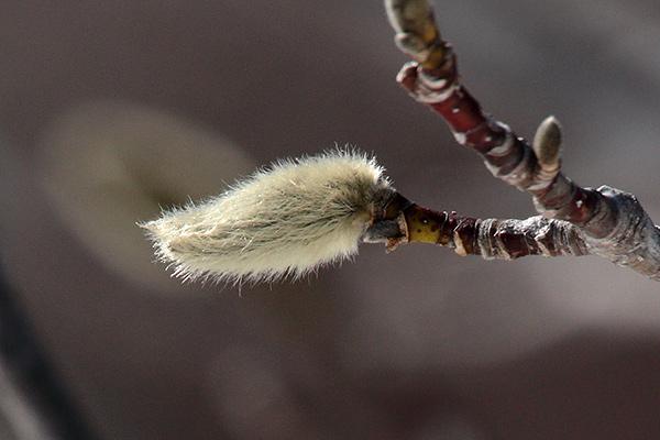 キタコブシ冬芽-2