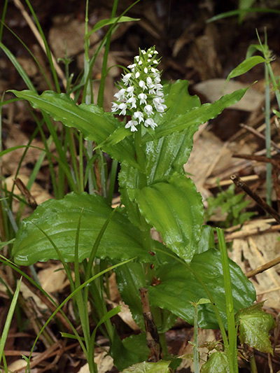 白花ノビネチドリ-1