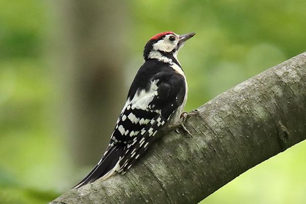 アカゲラ幼鳥-212