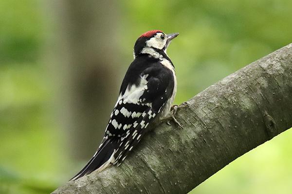 アカゲラ幼鳥-214