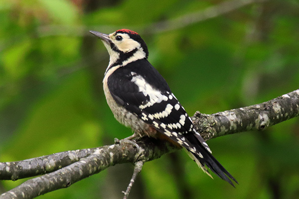 アカゲラ幼鳥-215