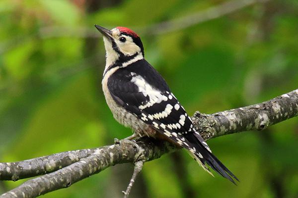 アカゲラ幼鳥-216
