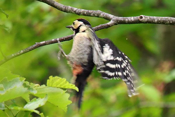 アカゲラ幼鳥-217