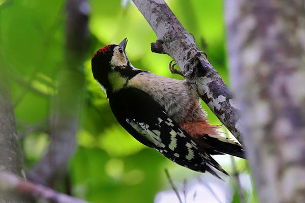 アカゲラ幼鳥-219
