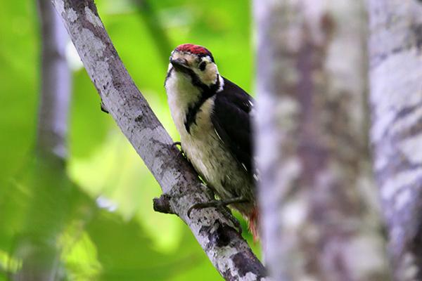 アカゲラ幼鳥-220