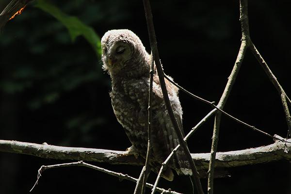エゾフクロウ巣立雛-202