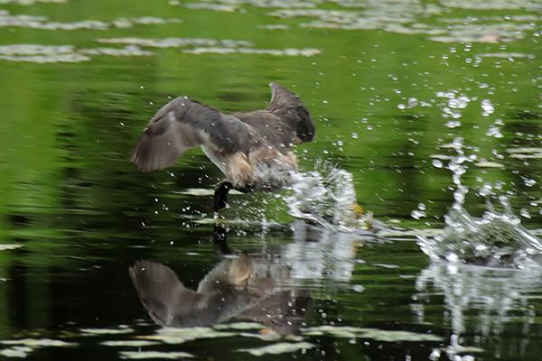 カイツブリ幼鳥-63