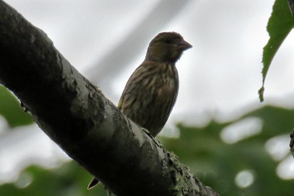 カワラヒワ幼鳥-52