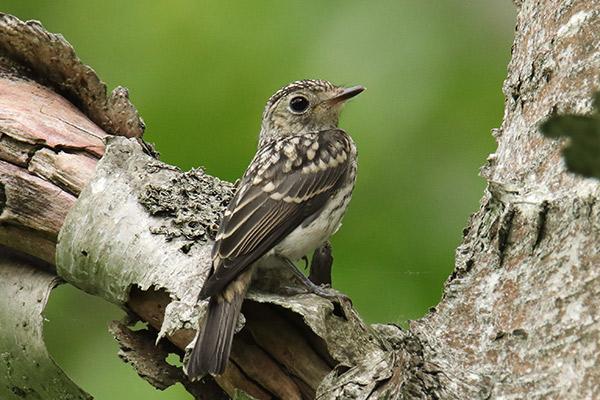 コサメビタキ幼鳥-4