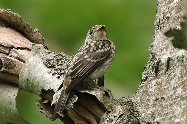 コサメビタキ幼鳥-5