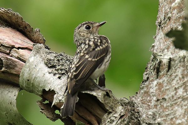 コサメビタキ幼鳥-6