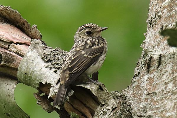 コサメビタキ幼鳥-7