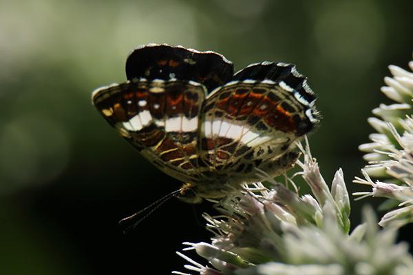 サカハチチョウ-2