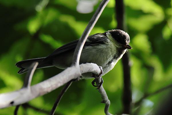 シジュウカラ幼鳥-11