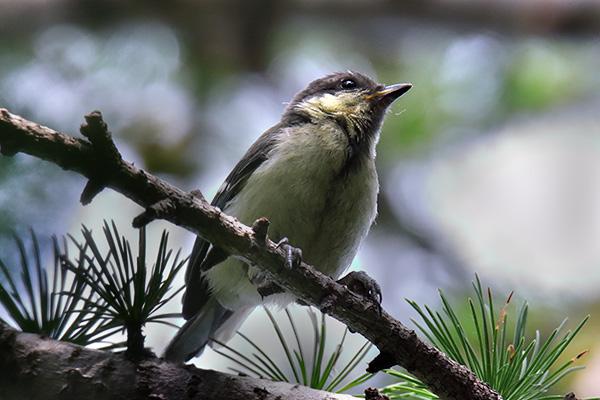シジュウカラ幼鳥-12