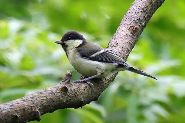 シジュウカラ幼鳥-13