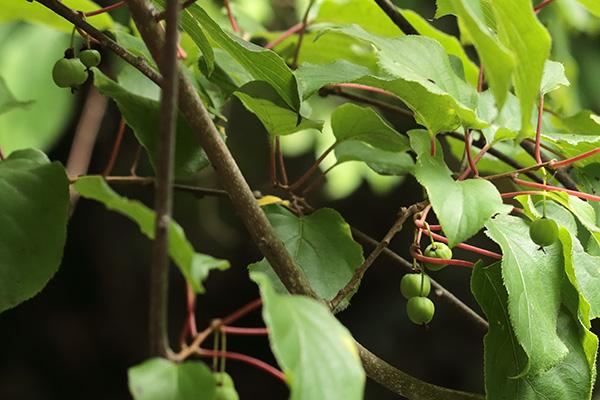 サルナシ(コクワ)果実-1