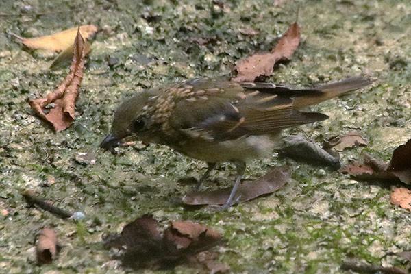 コサメビタキ幼鳥-13