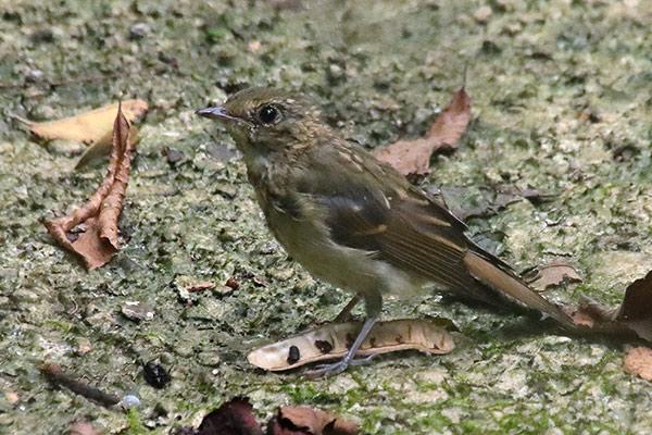 コサメビタキ幼鳥-16