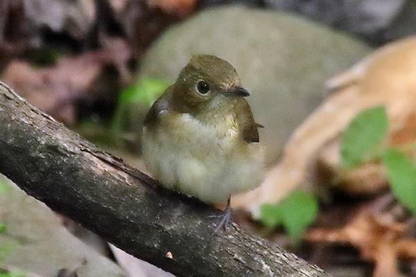 コサメビタキ幼鳥-17