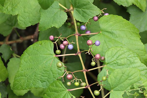ノブドウの果実-2