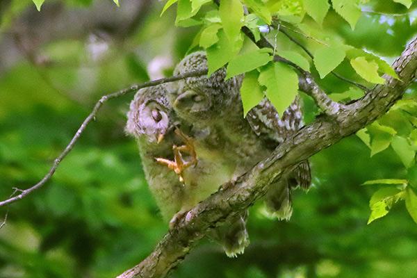 エゾフクロウ巣立ち雛-241