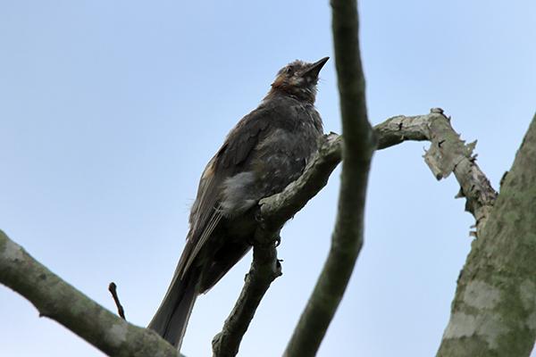 ヒヨドリ幼鳥-7