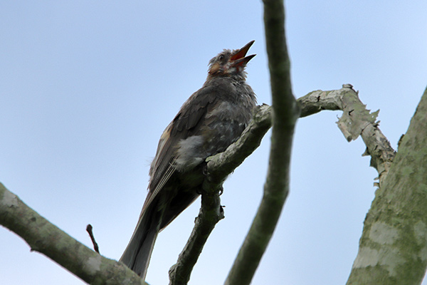 ヒヨドリ幼鳥-8
