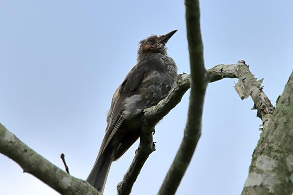ヒヨドリ幼鳥-9