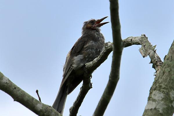 ヒヨドリ幼鳥-10
