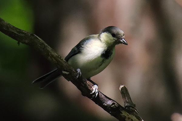 シジュウカラ幼鳥-31