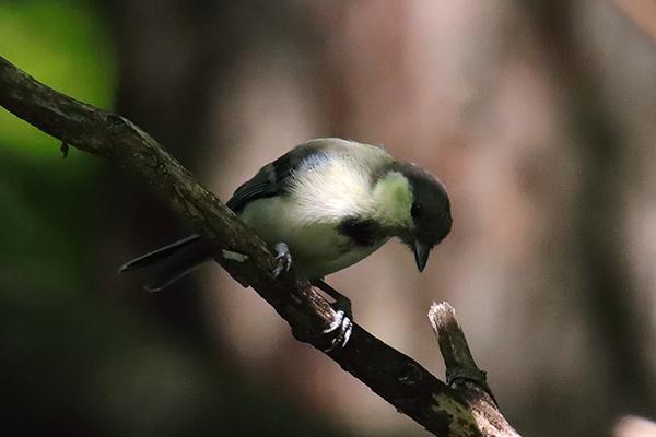 シジュウカラ幼鳥-32