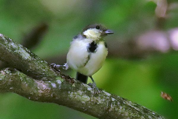 シジュウカラ幼鳥-35