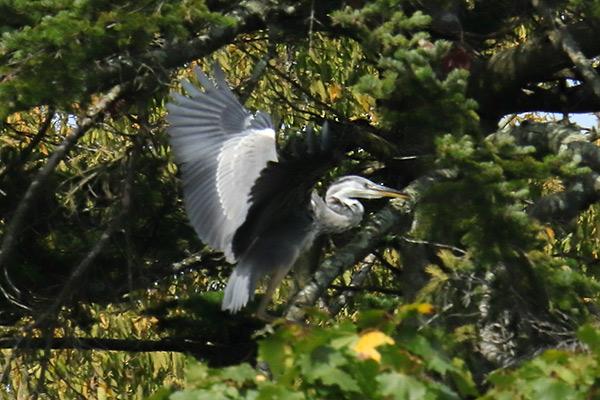 アオサギ幼鳥-67