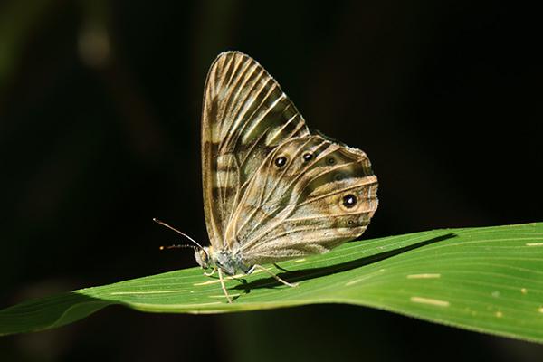 ヒメキマダラヒカゲ-19