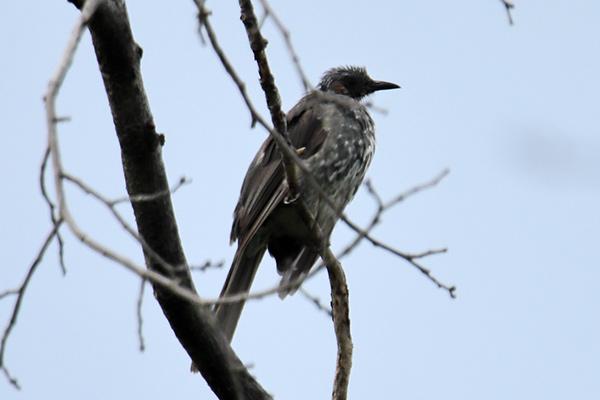 ヒヨドリ幼鳥-11
