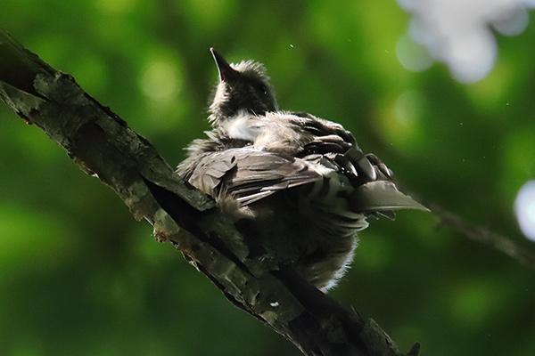 ヒヨドリ幼鳥-14