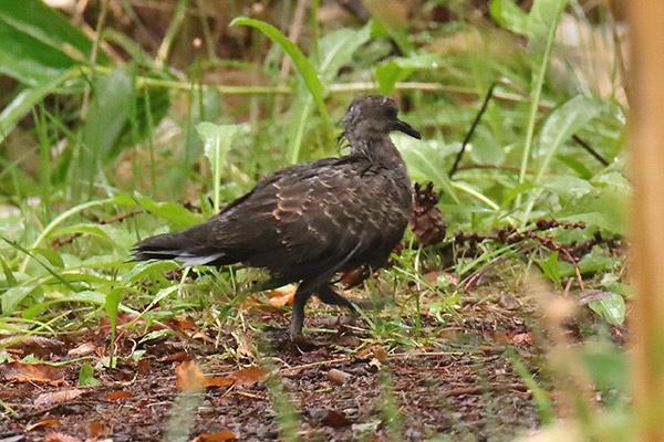 キジバト幼鳥-86