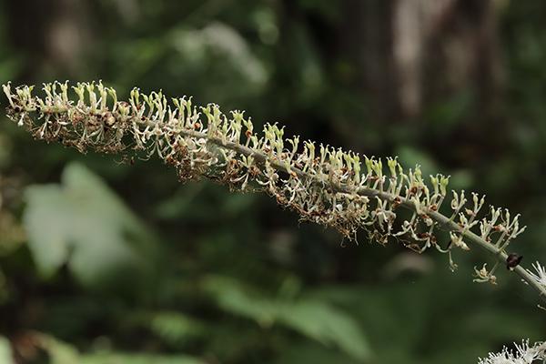 サラシナショウマ両性花-1