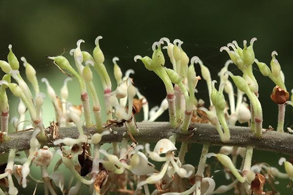 サラシナショウマ両性花-2