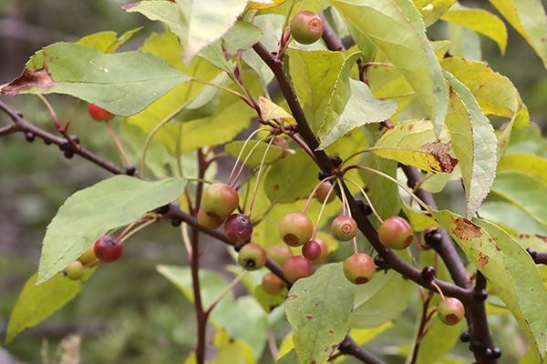 ズミ(コリンゴ)果実-1